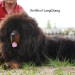 Fasu of Long Cheng Kennel