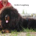 Fasu of Long Cheng Kennel