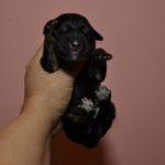 щенки тибетского мастифа